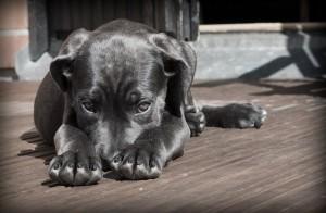 chien-gris