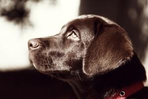 tete-de-chien-noire